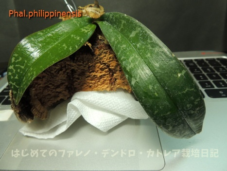 credit17-3-4-6-philippinensis